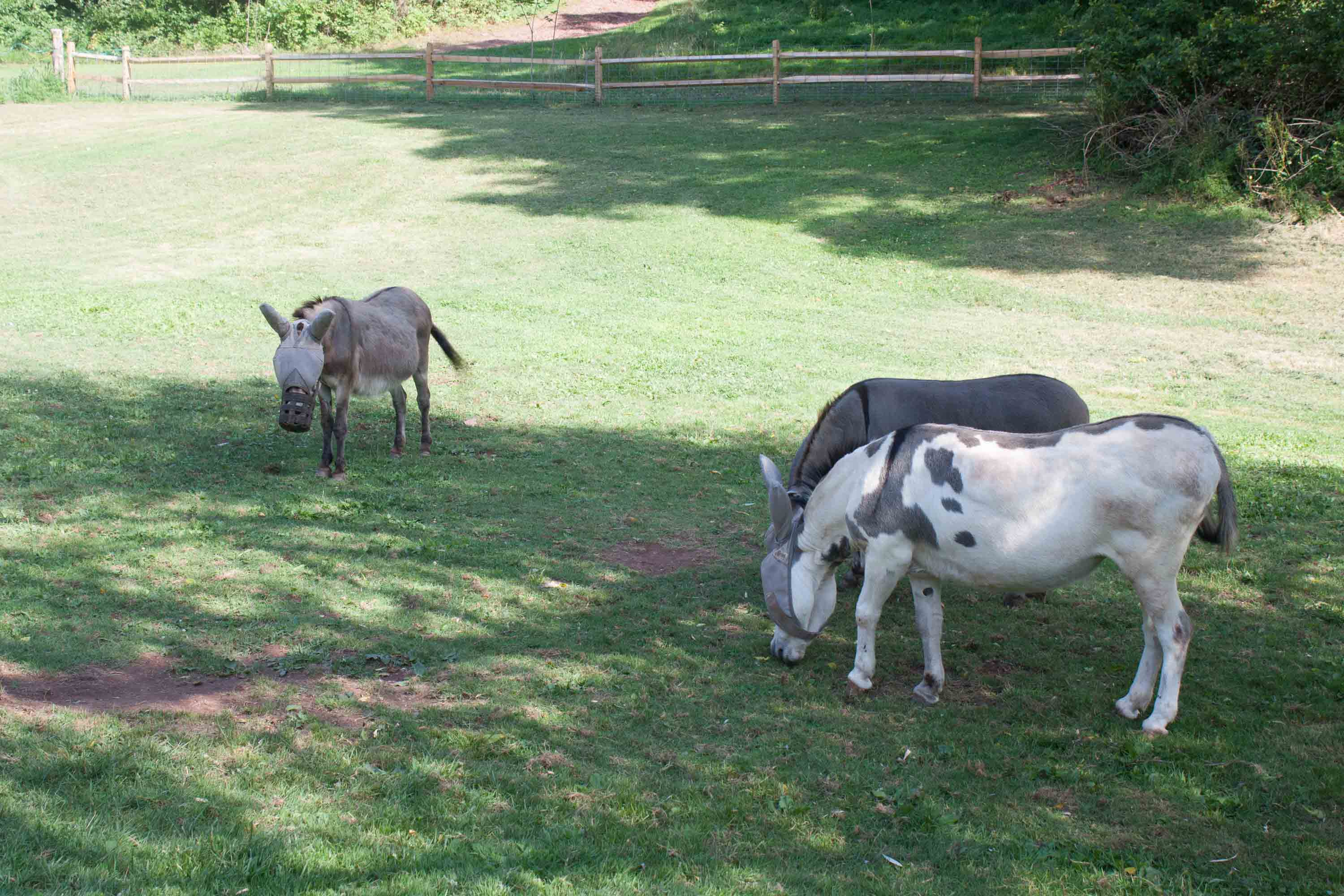 Pepita, Cheyenne, and Flower are our three miniature donkeys. They enjoy grazing in the Lower Fields.